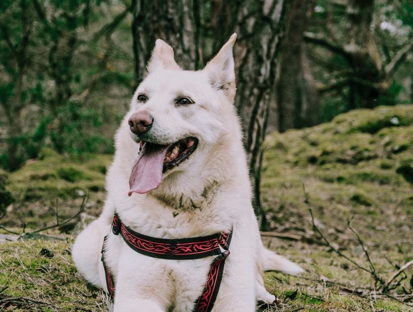 travel nursing with dog
